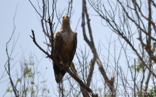 Орлан-белохвост, дельта Волги