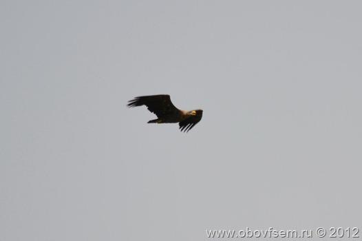 Орлан-белохвост в полёте