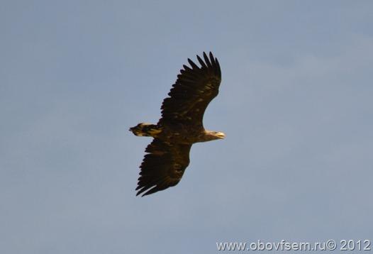 Орлан-белохвост парит