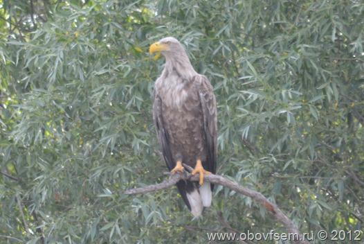 Орлан-белохвост  в волжской Дельте