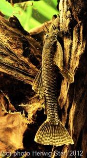 Ancistrus dolichopterus - Antennenwels Herwig Ster