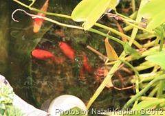 рыбы в моём пруду